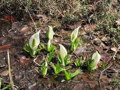 泉ヶ岳にも遅い春がやってきました。