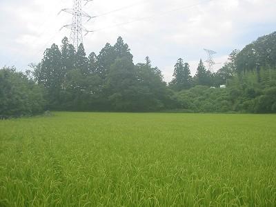 長雨で今年の稲は心配ですね。