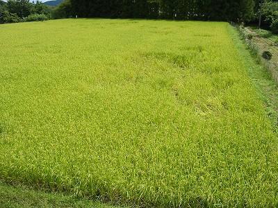 今年は農業共済被害届を出しました。