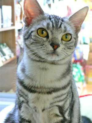 美猫 アメリカンショートヘアー <山形県高畠町生れ>