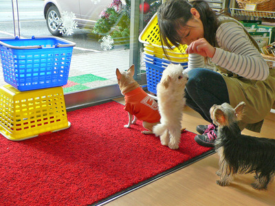 【販売犬紹介】トイプードルタイニーsize とっても小ぶり!