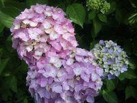 紫陽花の美しさに足を止める〜♪フリー素材。