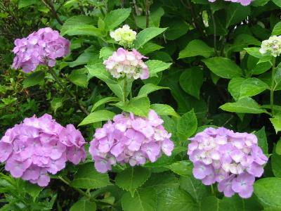 我が家の紫陽花もようやく見頃です。