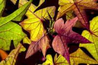 昆虫などに葉を食べられないように匂いを出すサツマイモ