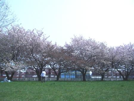 仙台で桜がまだ咲いてます