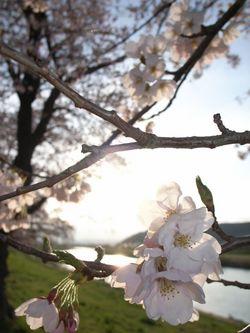 大河原の一目千本桜 2