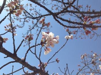 まだ 咲いてない…。