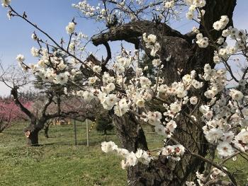 梅のお花見~♪