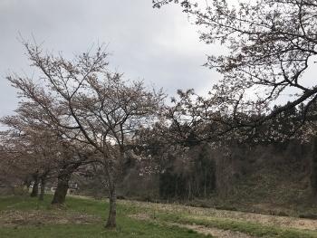 大崎市岩出山の桜