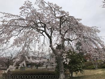 日和山の桜です~♪