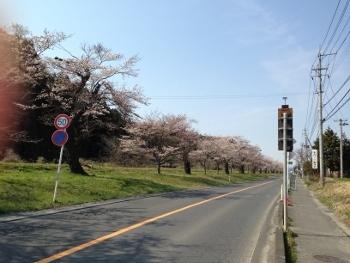 岩出山の桜