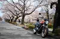 PLEASE☆将監の桜並木にて♪ プリーズ☆加川 2020/04/11 18:04:38