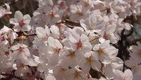 桜満開 肴町公園