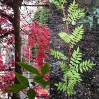 紅葉 木の芽