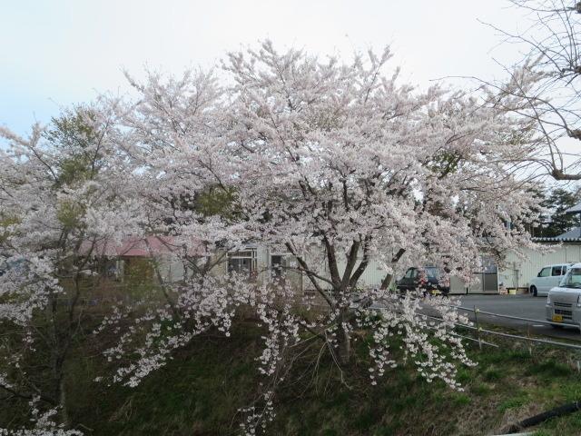 桜前線北上