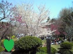 塩竈神社の桜です。