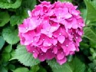 我が家の紫陽花~♪