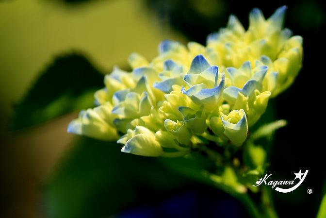 仙台の紫陽花☆夏ヘア   プリーズ☆加川