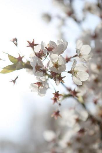 桜の中を☆優雅に