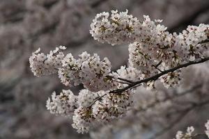 日本の桜☆仙台将監のさくら