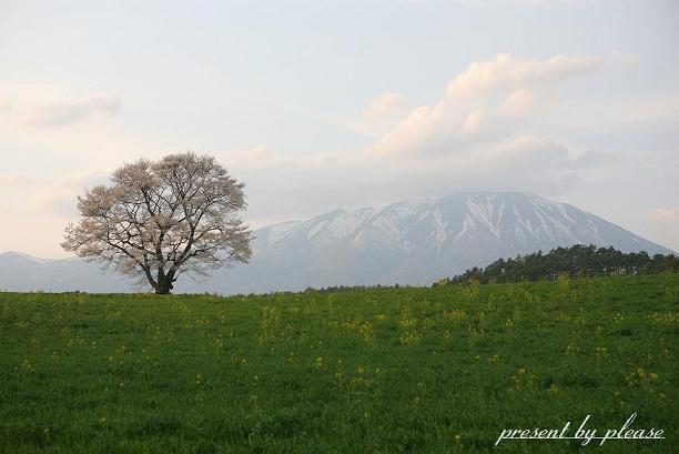 ★丘の上のさくらの美'樹の下で★ プリーズ☆加川