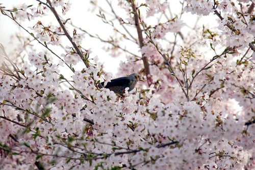 花にKISS☆さくら