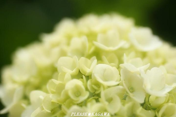 アジサイの花咲く季節仙台☆ 泉中央カット&パーマ、プリーズ☆