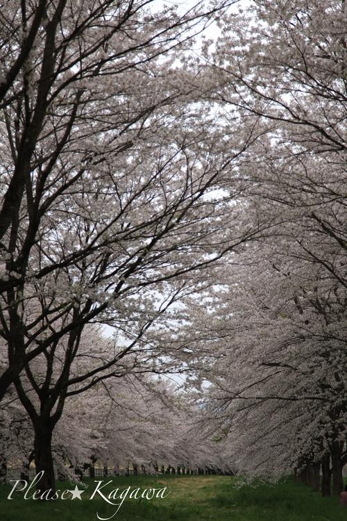 桜並木♪  プリーズ☆加川 LOVE&あはは~♪