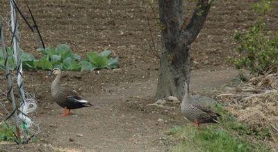 つがいの鴨?でしょうか。 仲良くお散歩中?