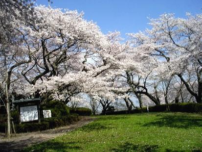 ここも素晴らしい桜