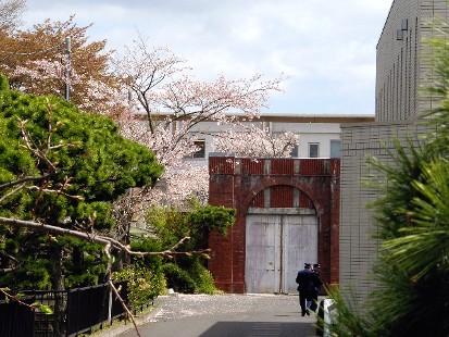 宮城刑務所の桜