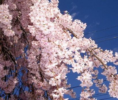春日桜見て来た