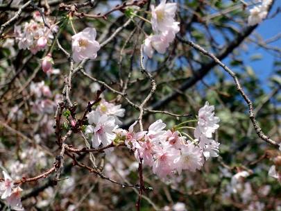 やっぱり桜!