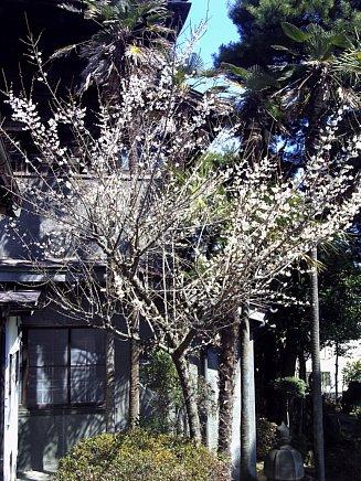 春の足音 ~梅便り その2 ~