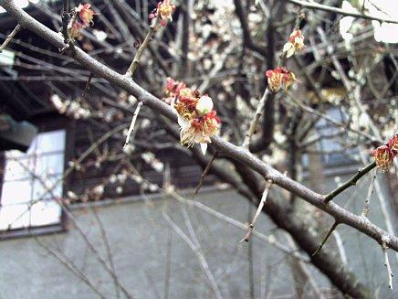 春の足音 ~ 梅便り その3 ~