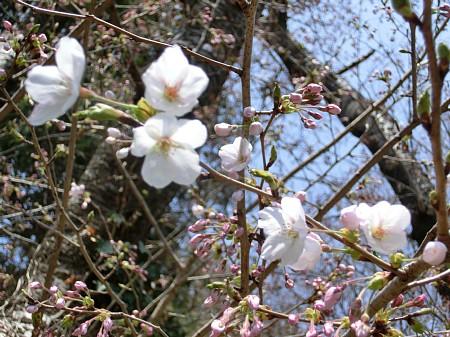 2013年 亀井邸に春がきました。