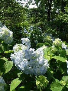 アジサイ~庭園からの花便り~