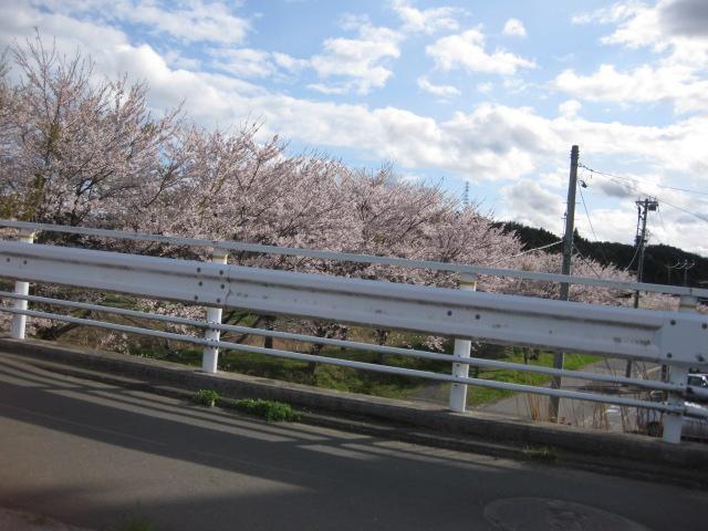 津波に負けない、気仙沼大川沿いの桜並木
