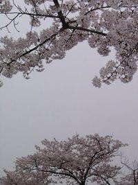 自宅前の桜の樹