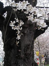 一目千本桜(大河原)