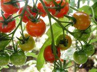 今朝のプチトマト