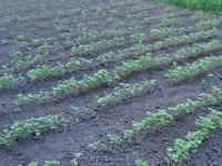 蕎麦栽培2
