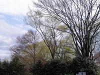 ここんとこ仙台 桜