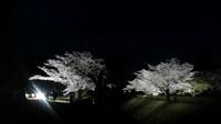 佐倉の歴博の桜がTVで紹介