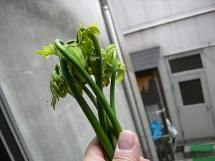 山菜取りに行ったよ。