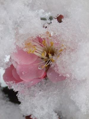 雪に包まれて咲く梅