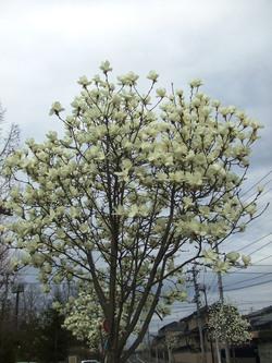 木蓮の花が満開です
