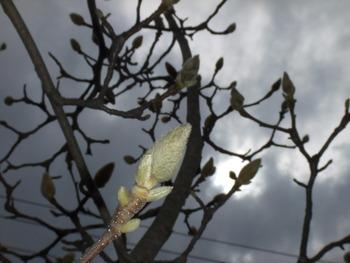 木蓮も間もなく咲くでしょう