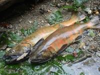 鱒の産卵期