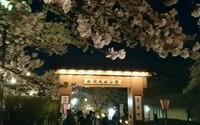 夜桜見物、船岡城址公園